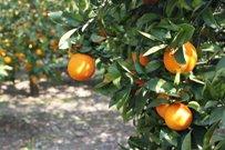 Più frutta nelle bevande analcoliche, salvi gli agrumeti siciliani