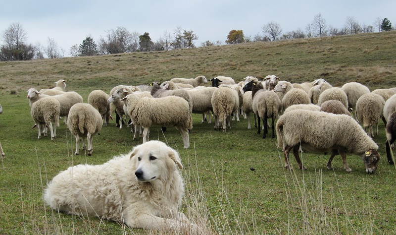 Fallisce l'associazione degli allevatori siciliani: a rischio centinaia di posti di lavoro
