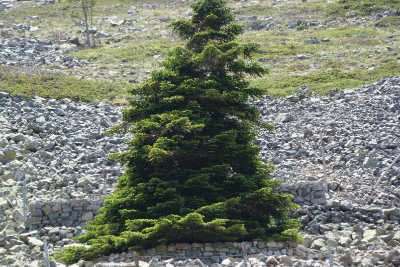 L'albero che meglio rappresenta la Sicilia? E' l'abete delle Madonie, parola di botanici