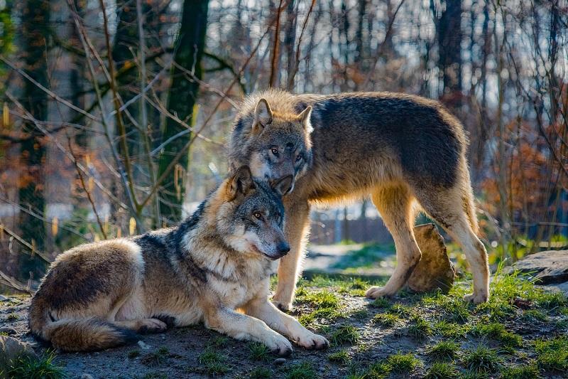 """Reintroduzione dei lupi nelle Madonie: """"Sì, ma attenzione al problema dei cani randagi"""""""