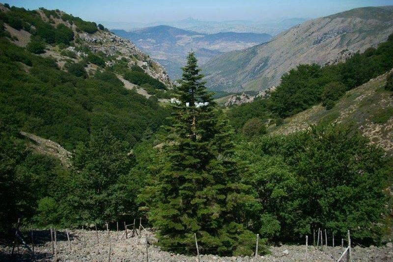 L'Abies Nebrodensis su Geo&Geo: in Rai una puntata dedicata all'albero delle Madonie