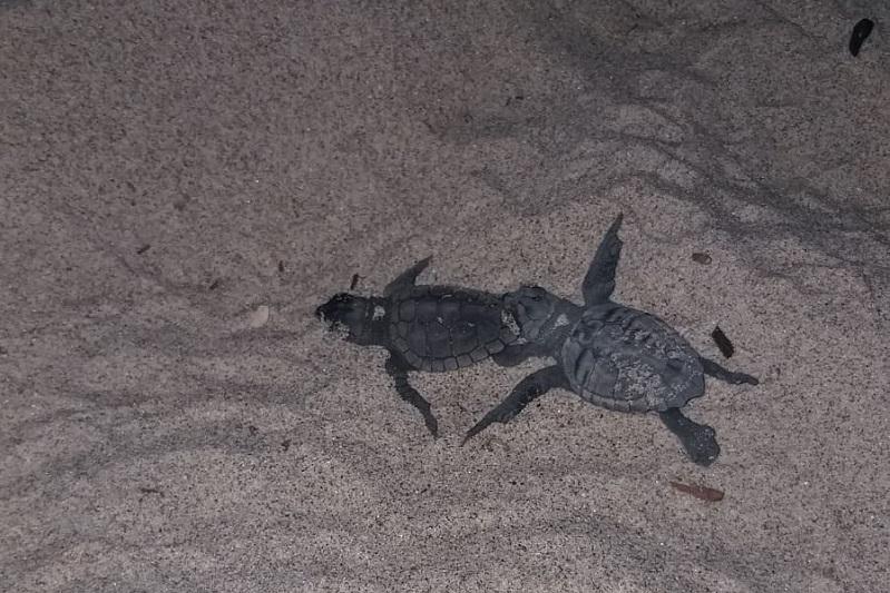 Il miracolo della Natura si compie: nate 50 tartarughe Caretta Caretta