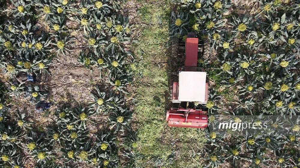 Prodotti pagati pochi centesimi e costi triplicati: agricoltori distruggono raccolto